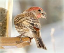 A house finch in Northborough, photographed by Sandy Howard.