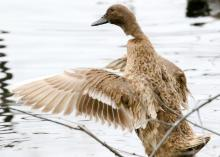 A duck at Hager Pond in Marlborough, photographed by Steve Forman.