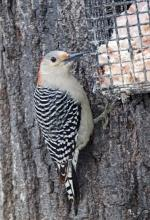 A red-bellied woodpecker in Framingham, photographed by Joan Chasan.
