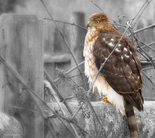 A sharp-shinned hawk in Northborough, photographed by Sandy Howard.