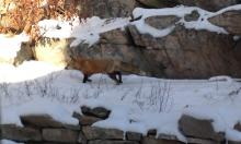 A red fox in Marlborough, photographed by Jill Johnson.