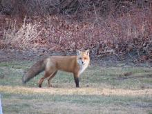 A red fox in Stow.