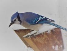 A blue jay in Harvard, photographed by Robin Right.
