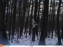 A red-tailed hawk in Stow, photographed with an automatically triggered wildlife camera by Steve Cumming.