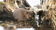 A muskrat at Assabet River National Wildlife Refuge in Sudbury, photographed by Dan Trippe.
