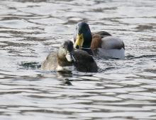 A mallard and a partially domestic mallard at Farm Pond in Framingham, photographed by Steve Forman.