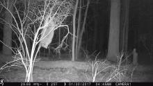 A raccoon in Stow, photographed with an automatically triggered wildlife camera by Steve Cumming.