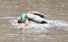 Mallards mating at Hager Pond in Marlborough, photographed by Steve Forman.