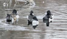 Ring-necked ducks on the Sudbury River in Wayland, photographed by Steve Forman.