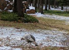 A turkey in Sudbury, photographed by Amy Hansen.