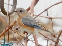 An eastern bluebird in Northborough, photographed by Sandy Howard.