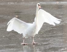 A mute swan on the Sudbury Reservoir in Southborough, photographed by Steve Forman.