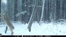 A white-tailed deer in Stow, photographed using an automatically triggered wildlife camera by Steve Cumming.