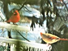 Northern cardinals in Harvard, photographed by Robin Right.