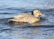 A mallard on the Sudbury River in Wayland, photographed by Steve Forman.