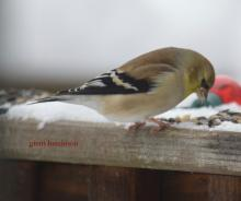An American goldfinch in Marlborough, photographed by Ginny Hutchison.