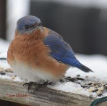 An eastern bluebird in Marlborough, photographed by Ginny Hutchison.
