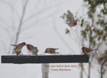 American goldfinches and house finches in Marlborough, photographed by Ginny Hutchison.