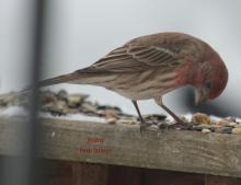 A house finch in Marlborough, photographed by Ginny Hutchison.