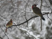 A northern cardinal (left) and a northern flicker in Stow.