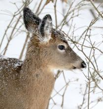 A white-tailed deer in Framingham, photographed by Steve Forman.