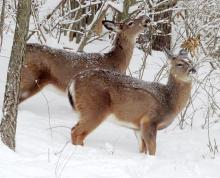 White-tailed deer in Framingham, photographed by Steve Forman.