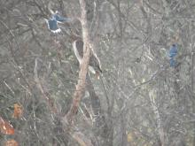 A red-tailed hawk being pestered by blue jays in Stow.