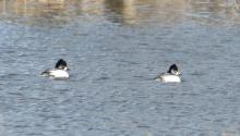 Common goldeneyes on the Sudbury River in Wayland, photographed by Steve Forman.