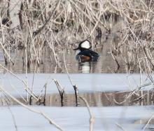 A hooded merganser on the Sudbury River in Wayland, photographed by Steve Forman.