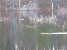 A beaver at Heath Hen Meadow Brook in Stow, photographed by Eve Donahue.