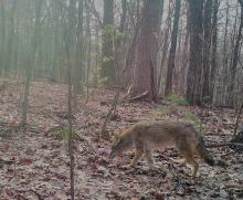 A coyote in Harvard, photographed with an automatically triggered wildlife camera by Robin Right.