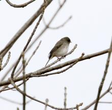 A dark-eyed junco on the Sudbury Reservoir in Southborough, photographed by Steve Forman.