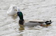 A mallard and a ring-billed gull at Hager Pond in Marlborough, photographed by Steve Forman.