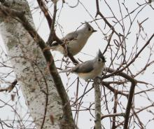 Tufted titmice at Hager Pond in Marlborough, photographed by Steve Forman.