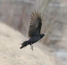 An American crow at Farm Pond in Framingham, photographed by Steve Forman.