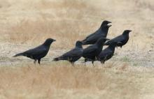 American crows at Farm Pond in Framingham, photographed by Steve Forman.