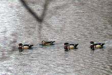 Wood ducks on the Sudbury River in Lincoln, photographed by Harold McAleer.