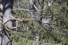 Red-shouldered hawks in Wayland, photographed by David Hirzel.