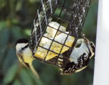 A black-capped chickadee and a downy woodpecker in Harvard, photographed by Robin Right.