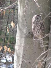 A barred owl in Stow, photographed by Tom Porcher.
