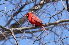 A northern cardinal at Assabet River National Wildlife Refuge in Sudbury, photographed by Dan Trippe.