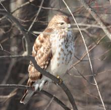A red-shouldered hawk in Sudbury, photographed by Dan Trippe.