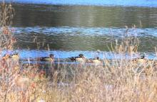 Wood ducks at Assabet River National Wildlife Refuge in Sudbury, photographed by Dan Trippe.