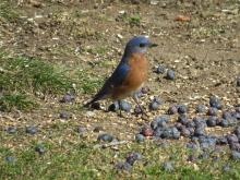 An eastern bluebird in Stow.