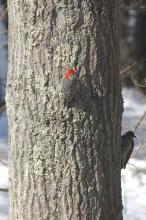 A red-bellied woodpecker (left) and a northern flicker (right) in Wayland, photographed by David Hirzel.