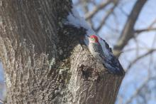 A red-bellied woodpecker in Wayland, photographed by David Hirzel.