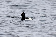 A ring-necked duck on Hager Pond in Marlborough, photographed by Sue Feldberg.