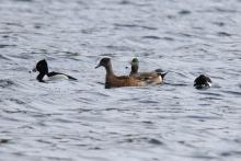 American wigeons (center) and ring-necked ducks on Hager Pond in Marlborough, photographed by Sue Feldberg.