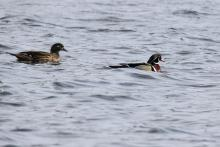Wood ducks on Hager Pond in Marlborough, photographed by Sue Feldberg.