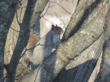 A gray squirrel in Stow.